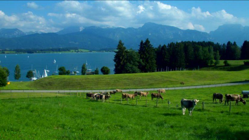205778840-lac-forggensee-epicea-sapin-troupeau-de-vaches