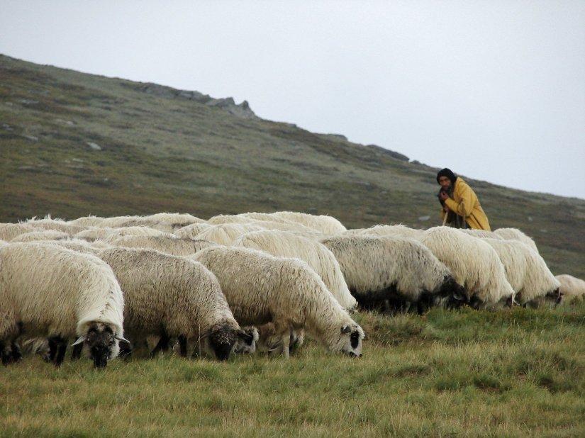 shepherd-1-1058133