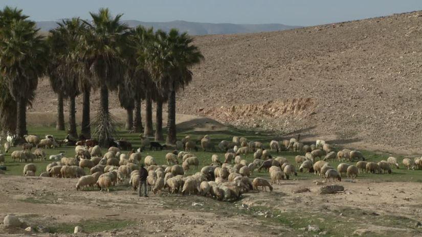 486803657-group-d'arbres-troupeau-de-moutons-berger-metier-agricole-ovin