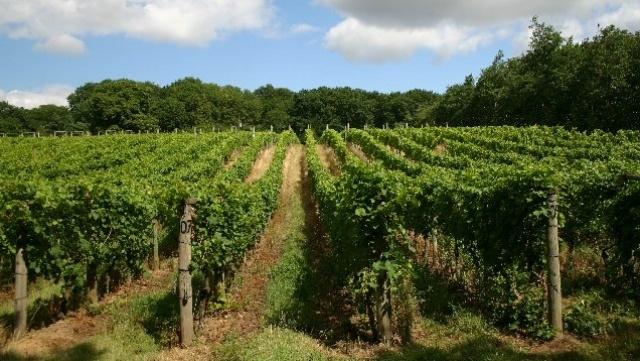 Vineyard-green