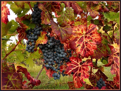 vigne20110929