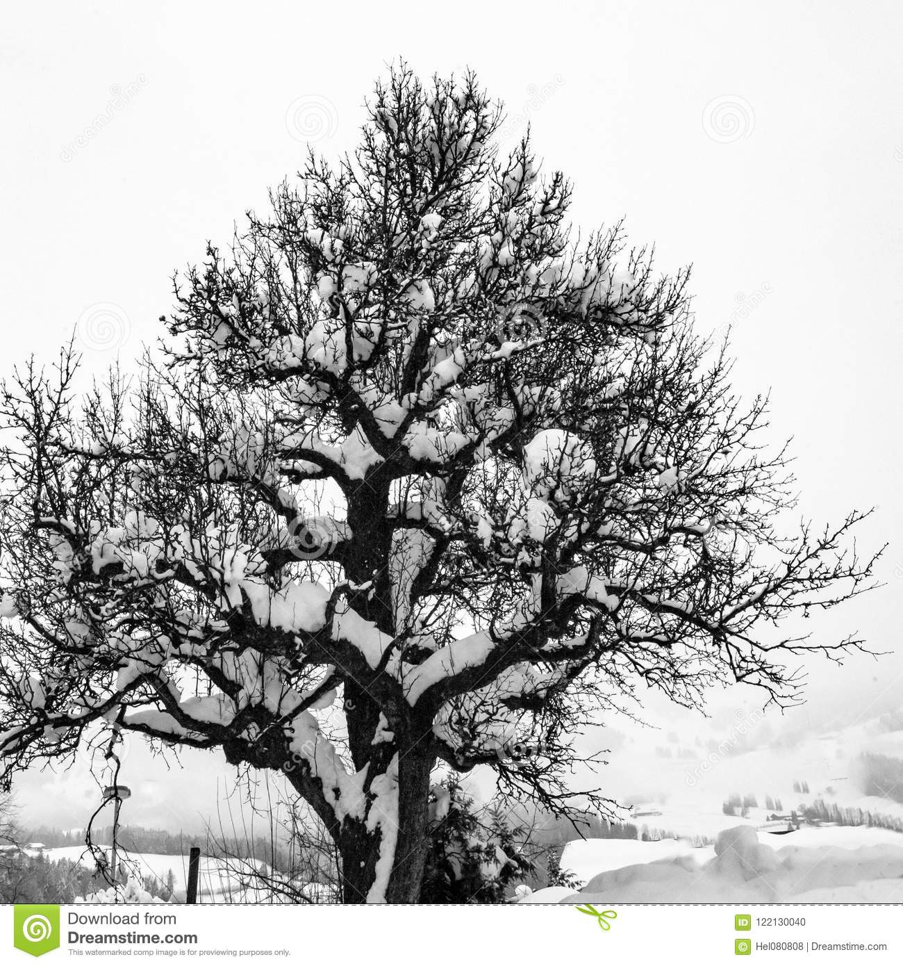 vieil-arbre-couvert-de-neige-en-hiver-noir-et-blanc-photographie-122130040